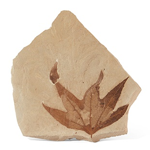 FOSSIL SYCAMORE LEAF GREEN RIVER, WYOMING, EOCENE PERIOD, 50 MILLION YEARS BP