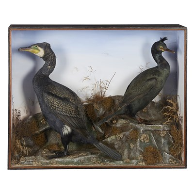 Lot 37 - TWO CASES OF TAXIDERMY SEABIRDS