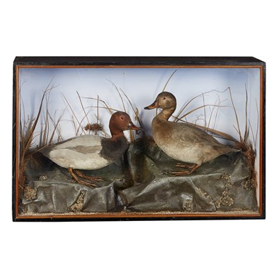 Lot 36 - TWO CASES OF TAXIDERMY DUCKS