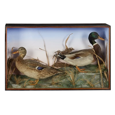 Lot 35 - TWO CASES OF TAXIDERMY DUCKS