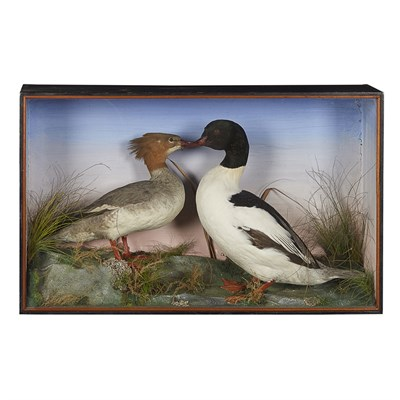 Lot 34 - TWO CASES OF TAXIDERMY DUCKS