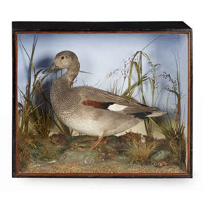 Lot 32-TWO CASES OF TAXIDERMY DUCKS