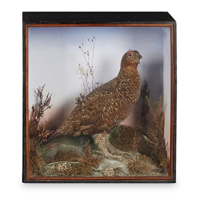 Lot 40 - CASED TAXIDERMY FEMALE RED GROUSE