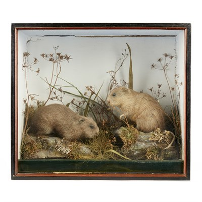 Lot 39 - CASED PAIR OF TAXIDERMY WATER VOLES