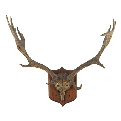 Lot 30-GROUP OF MOUNTED HORNS AND ANTLERS
