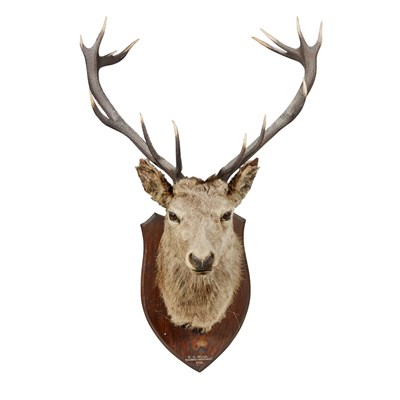 Lot 29-A LARGE IMPERIAL STAG'S HEAD