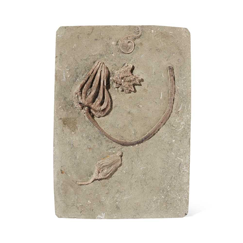 Lot 5 - CRINOID PLAQUE