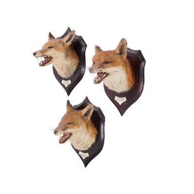 Lot 18 - THREE TAXIDERMY FOX HEADS